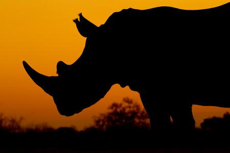White Rhino silhouette, sunset, South Africa