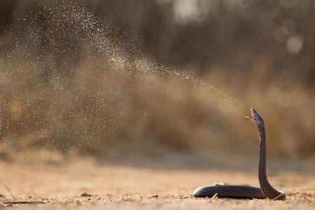 A Mozambique Spitting Cobra spits its venom as a form of defense