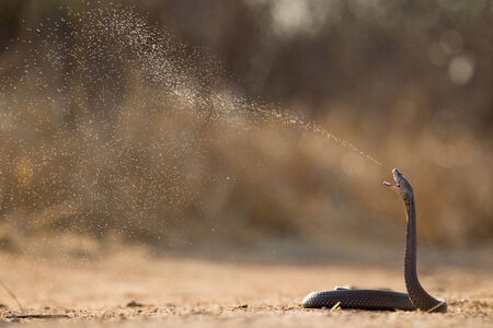 spitting: A Mozambique Spitting Cobra spits its venom as a form of defense