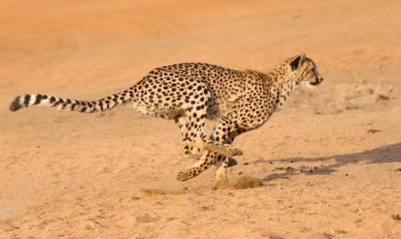 chita: Guepardo corriendo a toda velocidad en Sudáfrica (Acinonyx jubatus) Foto de archivo