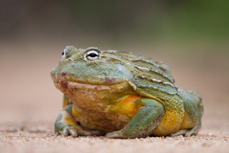 bullfrog: A Giant African Bullfrog recently emerged from hibernation