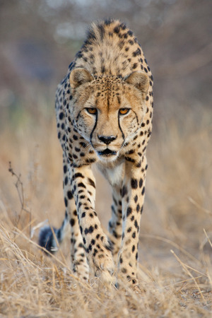 intent: A male Cheetah approaches with intent, South Africa Stock Photo