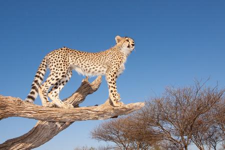 cheetah cub: A Cheetah cub climbs on a log to get a better vantage point South Africa
