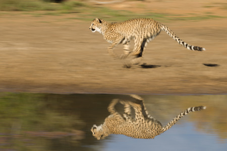 A cheetah runs fast next to water with reflection, South Africa