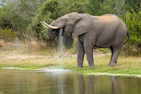 africana: African Elephant Bull (Loxodonta africana) drinking water from a natural pan in South Africas Kruger National Park Stock Photo