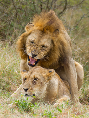 African Lions (Panthera leo) mating pair in South Africas Kruger Park