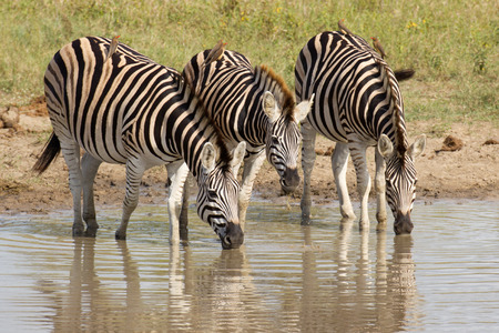 kruger park: Group of Burchells Zebra (Equus burchellii) drinking water from a natural pan in South Africas Kruger Park