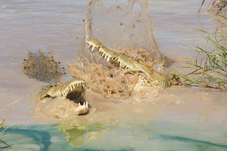 kruger park: Two Nile Crocodiles (Crocodylus niloticus) fighting in the water in South Africa, Kruger Park Stock Photo