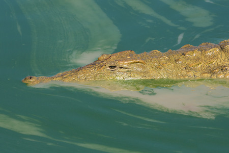 kruger park: Nile Crocodile lurkinig in murky green water(Crocodylus niloticus) Kruger Park South Africa