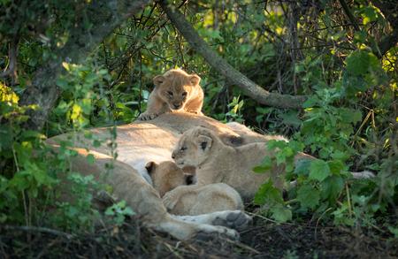 three Lion cubs in Tanzanias Serengeti National Park