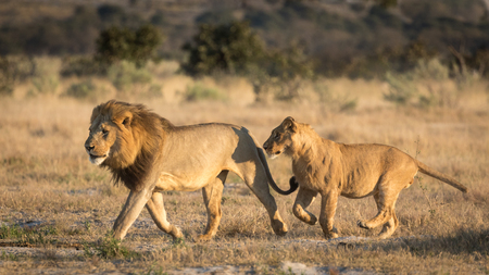 ボツワナの savuti エリアの領域に男性の次のサブが大人で実行している大人の雄ライオン