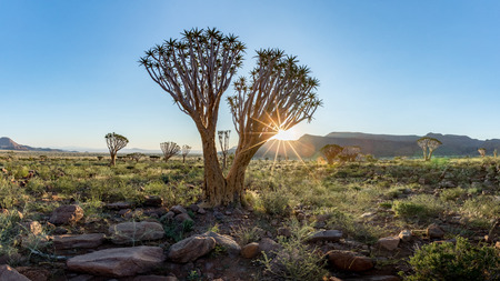 Quiver Tree  (Aloe dichotoma) in the Namib Rand Nature Reserve in Namibia Stock Photo