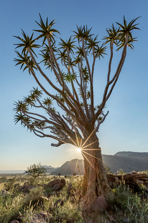 Quiver Tree  (Aloe dichotoma) in the Namib Rand Nature Reserve in Namibia Stok Fotoğraf