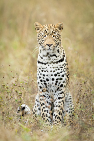 Young male African Leopard sitting in the grass, Okavango Delta, Botswana Stok Fotoğraf