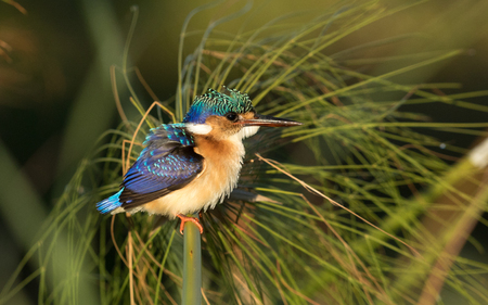 Juvenile Malachite Kingfisher (Alcedo cristata), Chobe River, Botswana Stock Photo