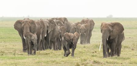 Large herd of African Elephants in Kenyas Amboseli National Park