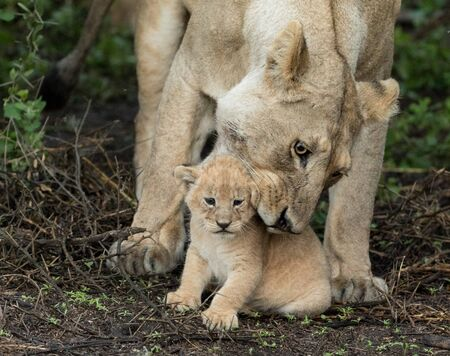 Adult Lioness picking up her small 5 week old cub, Serengeti National Park, Tanzania Stok Fotoğraf