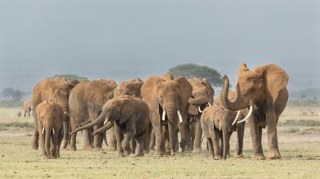 adult kenya: A large herd of African Elephants crosses open ground in Kenya;s Amboseli National Park