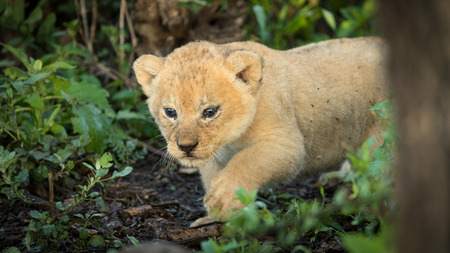 A 5 week old baby Lion cub in Tanzanias Serengati National Park