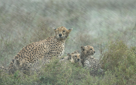 Adult female Cheetah with her small cubs in a heavy rain storm. Tanzanias Serengeti national Park