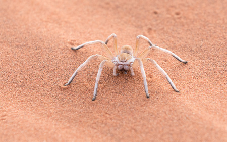 A female Dancing White Lady Spider (Leucorchestris arenicola) in the Namib Rand Nature Reserve in Namibia