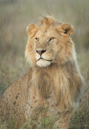 Alert Male Lion standing in the rain, Serengeti National Park, Tanzania