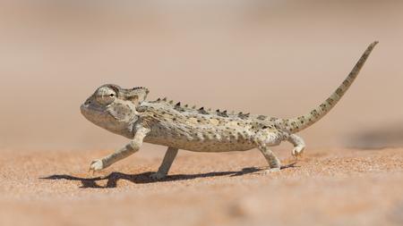 Camaleão Namaqua adaptado no deserto (Chamaeleo namaquensis) no Parque Nacional Dorob, perto de Swakopmund, Namíbia Foto de archivo - 80059925