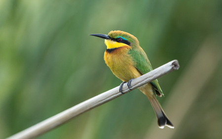 Little Bee eater on a reed perch at the Chobe River in Botswana Stok Fotoğraf