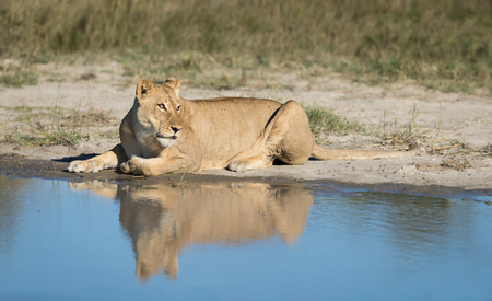 Female African Lion lying next to water with reflection, Savuti area of Chobe National Park in Botswana