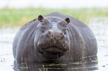A large female Hippo in the Chobe River in Botswana