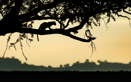 Adult Leopard resting in a tree at sunrise in Tanzanias Serengeti National Park Stok Fotoğraf