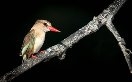 Brown Hooded Kingfisher at the Chobe River in Botswana