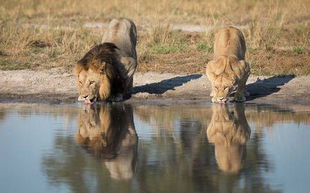 Male and female Lion drinking water from a natural pan in the Savuti area of Botswana