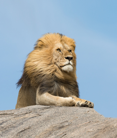 Portrait of a large male Lion on top of a rock in Tanzanias Serengeti National Park Stok Fotoğraf