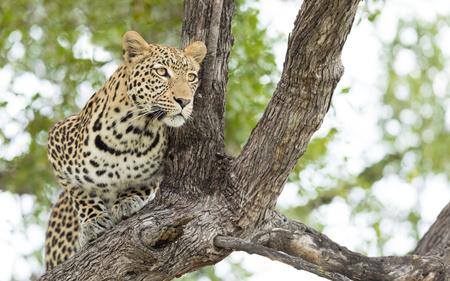 Young male African Leopard in a tree in the Okavango Delta of Botswana Stok Fotoğraf