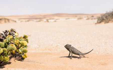 Desert adapted Namaqua Chameleon (Chamaeleo namaquensis)  in the Dorob National Park near Swakopmund, Namibia Stok Fotoğraf