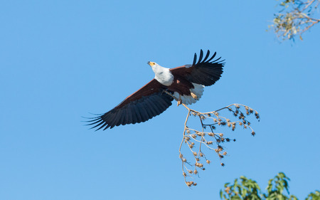 African Fish Eagle flying with nesting material, Chobe River, Botswana Stok Fotoğraf