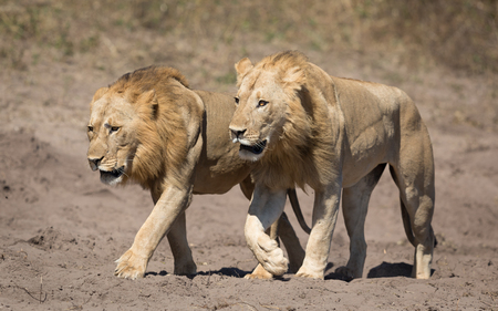 Two male African Lions walking together in the Chobe National Park in Botswana