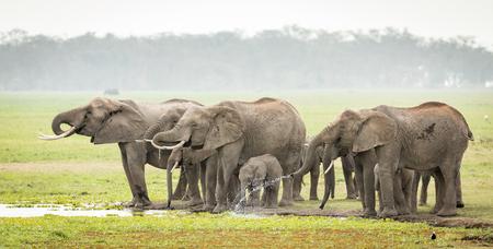 A herd of Elephants drinking water in Kenyas Amboseli National Park Stok Fotoğraf