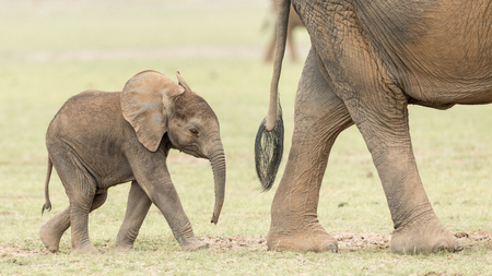 Baby African Elephant following its mother in Kenyas Amboseli National Park