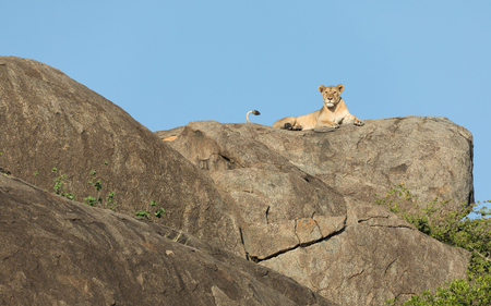 An adult Lioness rests ontop of a large rocky outcrop know as a