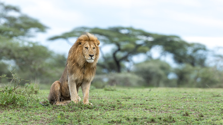 Adult male Lion sitting up in alert posture in the Ndutu area of Tanzanias Ngorongoro conservation area