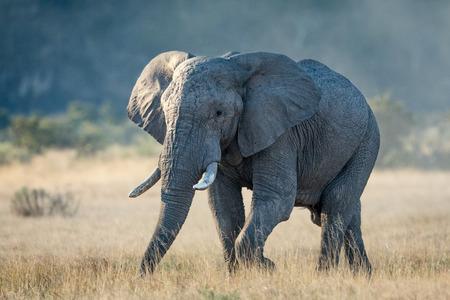 A bull Elephant in the Savuti area of the Chobe National Park in Botswana Stok Fotoğraf