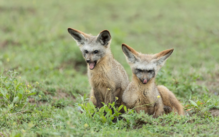 Two sub adult bat Eared foxes in the early morning, Serengeti national Park, Tanzania Stock Photo