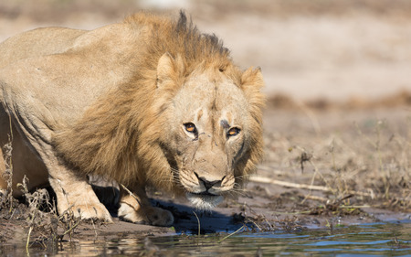 Male African Lion drinking water at the Chobe River in Botswana Stok Fotoğraf