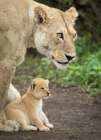 Adult Lioness protecting her 5 week old cub, Serengeti National Park, Tanzania