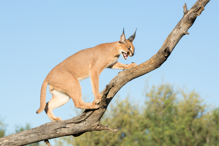 A single Caracal cat on a tree branch, snarling. South Africa Stock Photo