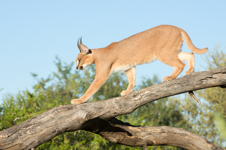A single Caracal cat walking down a tree branch. South Africa Stok Fotoğraf
