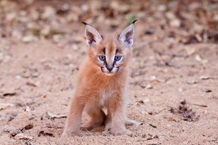 A baby Caracal Kitten in South Africa. Felis Caracal