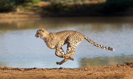 Cheetah running at full speed in South Africa (Acinonyx jubatus)
